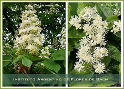 Clematis y Chestnut Bud