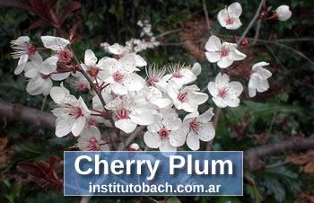 Foto de Flores de Bach Cherry Plum