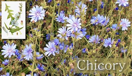 Fotografía de Flores de Bach: Chicory
