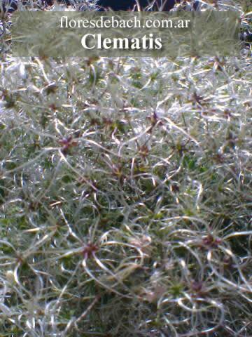 Foto de Flores de Bach: Clematis 2