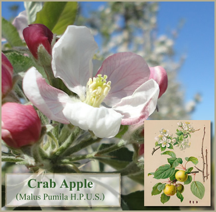 Foto de Flores de Bach: Crab Apple