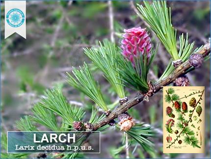 fotogafìa de una rama con una flor de Larch