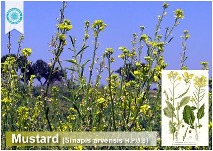 21 - Mustard (Sinapis arvensis)