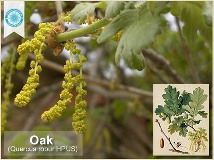 22 Oak - Roble