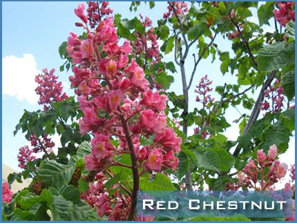 Foto de Red Chestnut