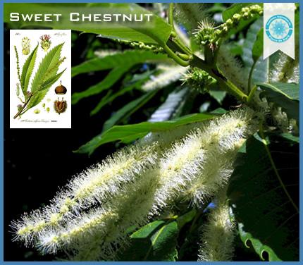30  - Sweet chestnut