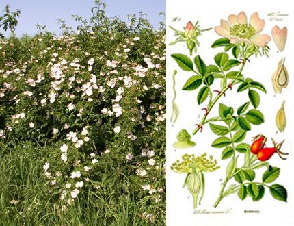 37 - Wild Rose