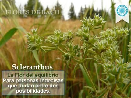 Imagen y usos de la Flor de Scleranthus