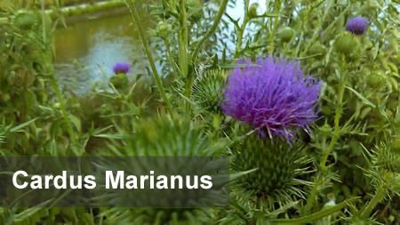 Cardus marianus