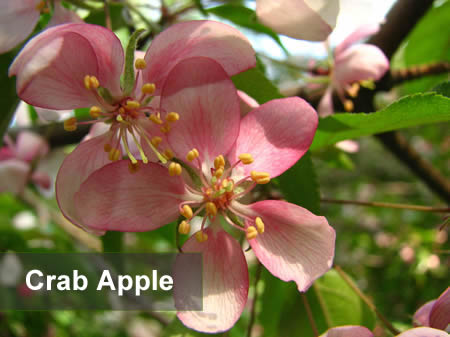 Foto de la Flor de Bach llamada Crab apple